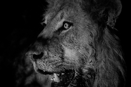 big 5: Side profile of a Male lion in black and white in the Kruger National Park, South Africa. Stock Photo