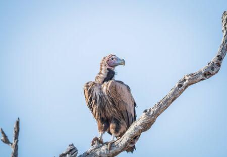 Lappet-faced vulture on a branch in the Kruger National Park, South Africa.