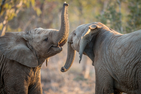 Elephants playing in the Kruger National Park, South Africa.