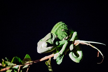 africa chameleon: A Flap-necked chameleon at night in the Kruger National Park, South Africa.