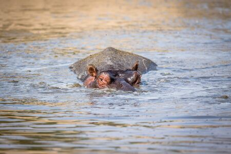 A Hippo peaking out of the water in the Kruger National Park, South Africa. Stock Photo