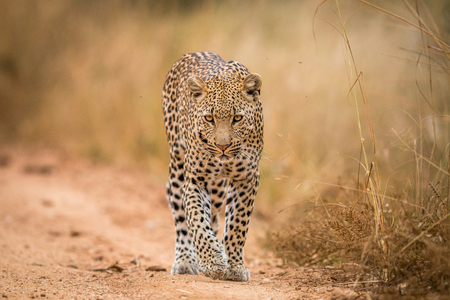 A Leopard walking towards the camera in the Kruger National Park, South Africa. Stock Photo