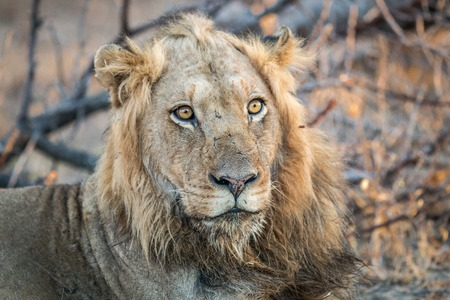 starring: A starring Lion in the Kruger National Park, South Africa.
