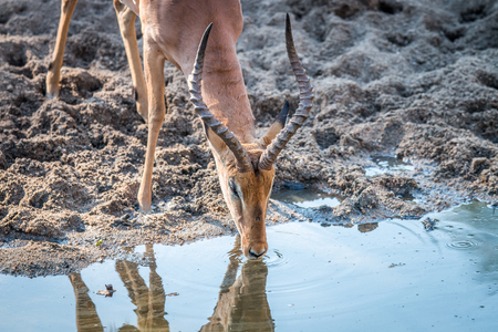 kruger: Impala drinking in the Kruger National Park, South Africa. Stock Photo