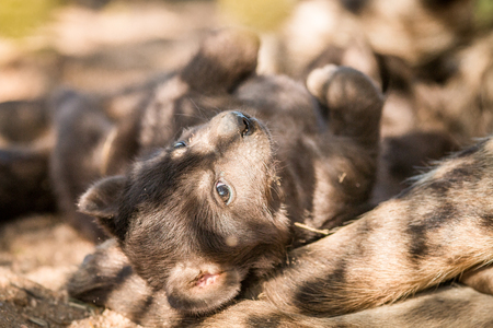 hyena: Spotted hyena pup in the Kruger National Park, South Africa. Stock Photo