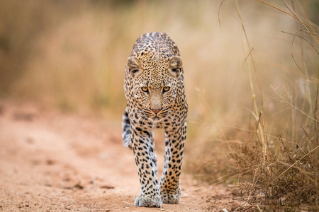big 5: A Leopard walking towards the camera in the Kruger National Park, South Africa. Stock Photo
