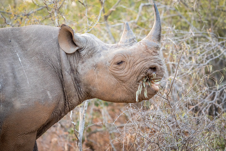kruger: Eating Black rhino in the Kruger National Park, South Africa. Stock Photo