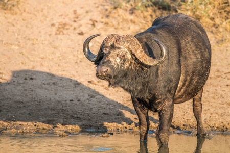 big 5: Starring Buffalo bull in the Kruger National Park, South Africa. Stock Photo