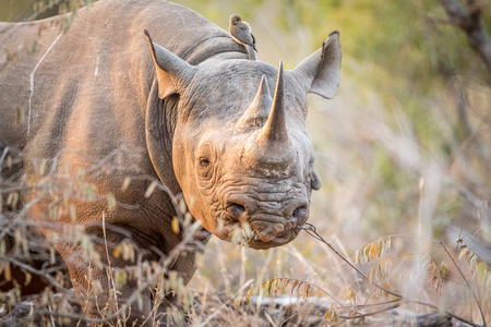 starring: Starring Black rhino in the Kruger National Park, South Africa.