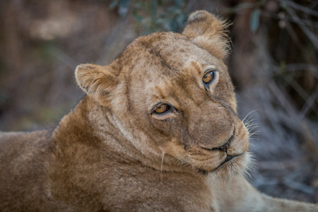 starring: A Lion starring in the Kruger National Park, South Africa.