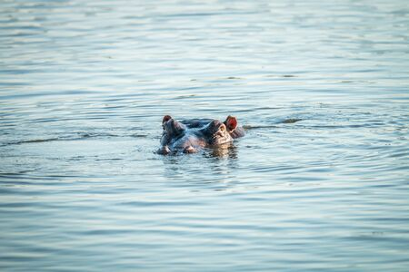 peaking: A hippo peaking out of the water in the Kruger National Park, South Africa.