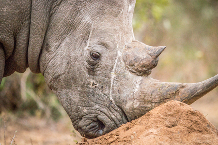 kruger: Close up of a White rhino in the Kruger National Park, South Africa.