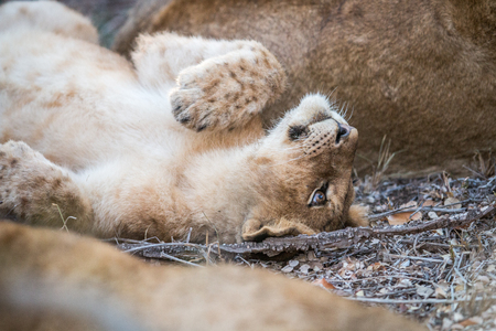 A young Lion cub laying in the Kruger National Park, South Africa. Stock Photo