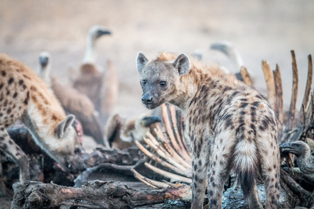 carcass: Spotted hyena on a carcass with Vultures in the Kruger National Park, South Africa. Stockfoto