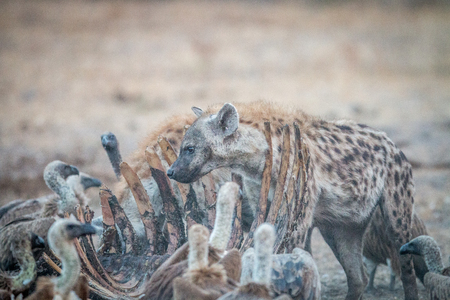 karkas: Spotted hyena on a carcass with Vultures in the Kruger National Park, South Africa. Stockfoto