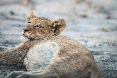 big 5: Lion cub laying down in the Kruger National Park, South Africa. Stock Photo