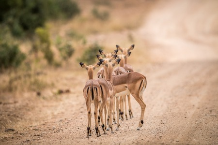 A group of female impalas starring from behind in the Kruger National Park, South Africa.