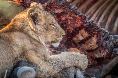 lion cub: Eating Lion cub in the Kruger National Park, South Africa.