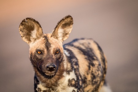 starring: Starring African wild dog in the Kruger National Park, South Africa. Stock Photo