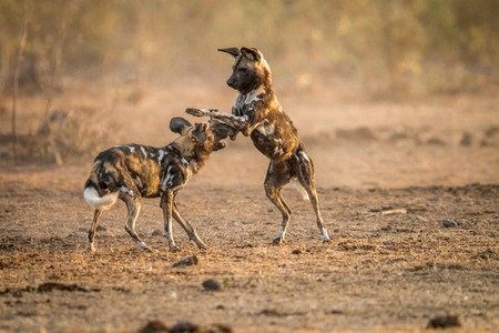 lycaon pictus: Playing African wild dogs in the Kruger National Park, South Africa.