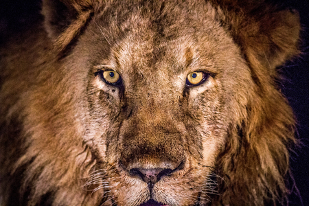 starring: Starring male Lion in the spotlight in the Kruger National Park, South Africa. Stock Photo