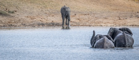 big 5: Three Elephants at a dam in the Kruger National Park, South Africa.