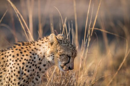 Cheetah looking down in the Kruger National Park, South Africa.