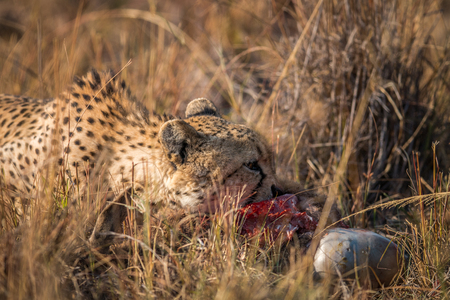 Cheetah eating from a Reedbuck carcass in the Kruger National Park, South Africa. Stock Photo