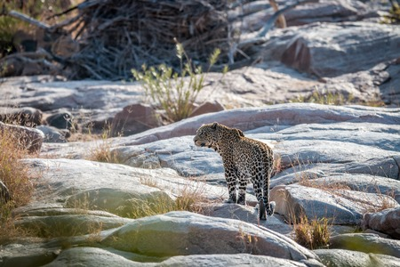 Leopard on rocks in a riverbed in the Kruger National Park, South Africa.