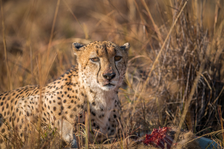 karkas: Cheetah eten uit een Reedbuck karkas in het Kruger National Park, Zuid-Afrika.