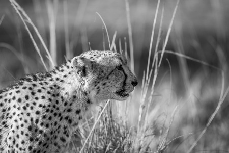 Side profile of a Cheetah in black and white in the Kruger National Park, South Africa.