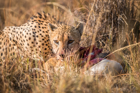 carcass: Cheetah eating from a Reedbuck carcass in the Kruger National Park, South Africa. Stockfoto