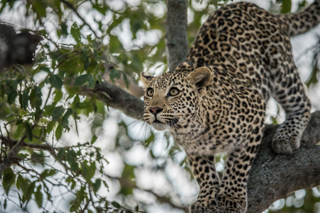 big 5: Leopard looking up in a tree in the Kruger National Park, South Africa.