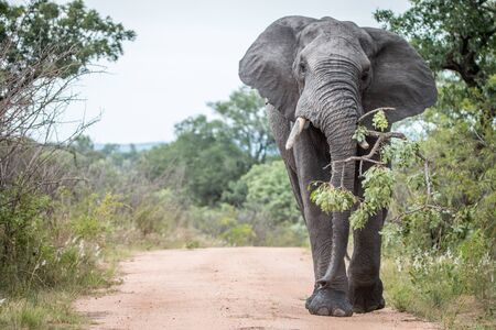 big 5: A big bull Elephant dragging a branch on the road in the Kruger National Park, South Africa.