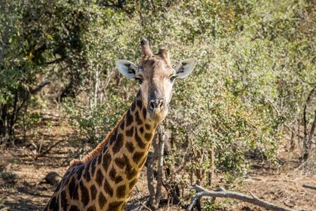 starring: Giraffe starring at the camera in the Kruger National Park, South Africa.
