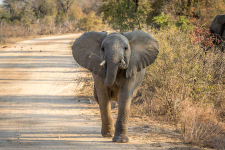 A young Elephant walking towards the camera in the Kruger National Park, South Africa.
