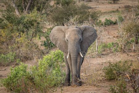 big 5: Big Elephant bull starring in the Kruger National Park, South Africa. Stock Photo