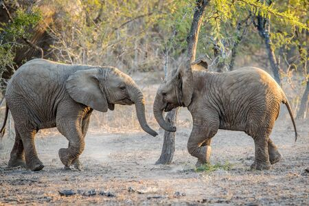 big 5: Young Elephants playing in the Kapama game reserve, South Africa.