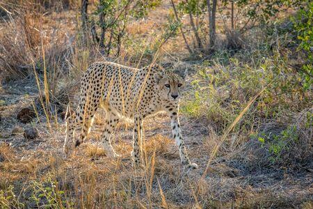 sabi: Cheetah walking in the grass in the Sabi Sabi game reserve, South Africa.