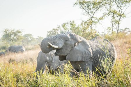 big 5: Drinking Elephants in the Kruger National Park, South Africa. Stock Photo