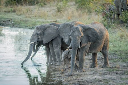 big 5: Herd of Elephants drinking in the Kruger National Park, South Africa.