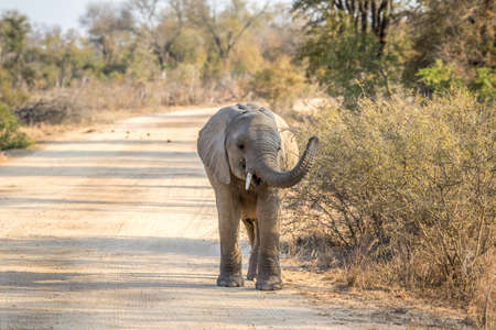 big 5: A young Elephant walking towards the camera in the Kruger National Park, South Africa.