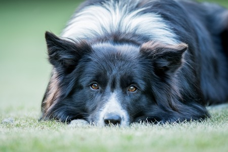 starring: Starring Border collie dog in the grass.