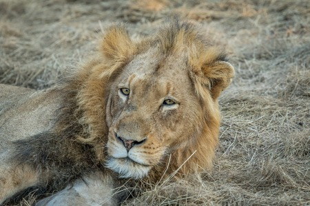 starring: Starring male Lion in the Kapama game reserve, South Africa.