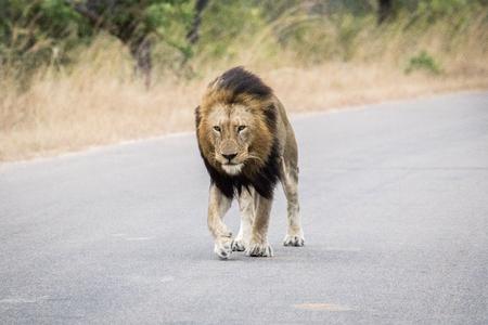big 5: Huge male Lion walking towards the camera in the Kruger National Park, South Africa.