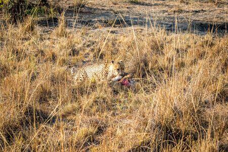karkas: Cheetah eten uit een Reedbuck karkas in het gras in het Sabi Sabi wildreservaat, Zuid-Afrika. Stockfoto