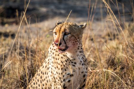 starring: Starring Cheetah with a bloody face in the Sabi Sabi game reserve, South Africa.