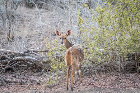starring: Female Bushbuck starring in the Kruger National Park, South Africa.