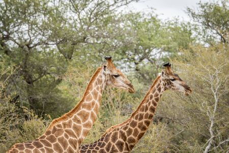 kruger: Two Giraffes in the Kruger National Park, South Africa. Stock Photo
