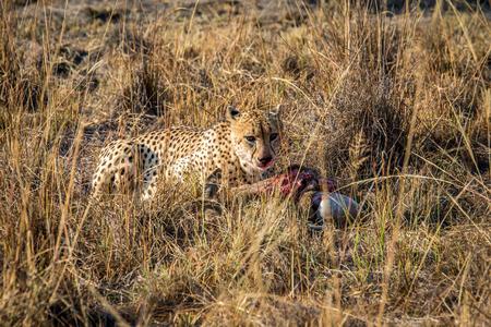 carcass: Cheetah eten uit een Reedbuck karkas in het gras in het Sabi Sabi wildreservaat, Zuid-Afrika. Stockfoto